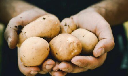 Brambory, které jsou hlavní ingrediencí pro vynikající bramboráky.